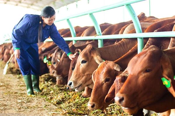 Ngành chăn nuôi trong năm 2018: Có nên chuyển hướng từ lợn sang đại gia súc? (25/2/2018)