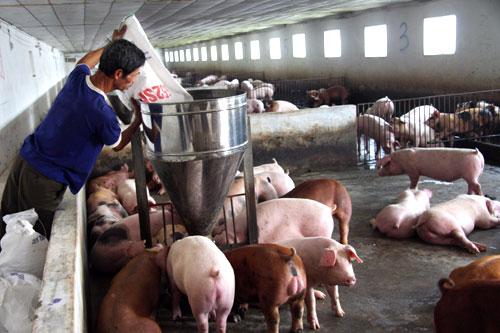 Cần cẩn trọng khi tái đàn vật nuôi. (05/4/2016)
