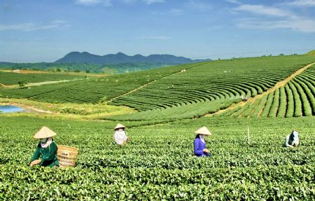 Diễn đàn kinh tế ngày 2/11/2014:Ngành chè Lâm Đồng: Tiềm năng và định hướng phát triển.