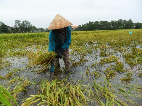 Nông nghiệp và nông thôn ngày 24/7/2014: Sóc Trăng - Mưa dầm làm thiệt hại về năng suất, chất lượng láu Hè thu đầu vụ