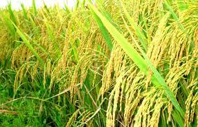 Thời sự sáng ngày 31/7/2014: Giá gạo ở Đồng bằng Sông Cửu Long đang ở mức cao nhất trong vòng 1 năm qua
