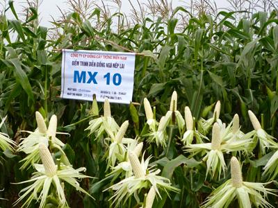 Nông nghiệp và nông thôn ngày 26/7/2014: Nâng cao hiệu quả sản xuất ngô gắn với chuyển đổi cơ cấu cây trồng