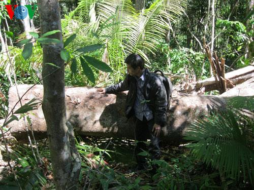 Đắc Lắc: Tiếng kêu cứu từ những cánh rừng (*) Bài 3 - Khó bảo vệ rừng nhưng dễ làm gỗ lậu