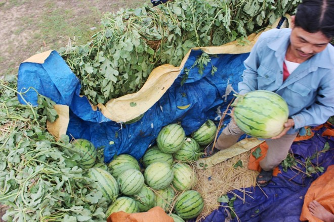 Thời sự sáng ngày 19/4/2015: Sở Nông nghiệp và phát triển nông thôn tỉnh Quảng Nam cho rằng, tiếp tục thông tin dưa hấu Quảng Nam không bán được là không chính xác, có khả năng bị lợi dụng để trục lợi và hiện dưa hấu thu hoạch tại tỉnh Quảng Nam đã bán hết.
