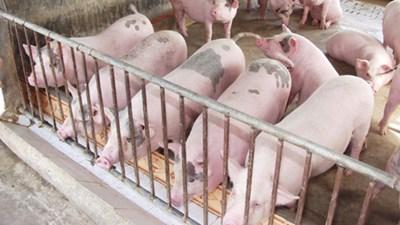 Nông nghiệp và nông thôn ngày 16/5/2015: Chăn nuôi lợn theo hướng thực hành nông nghiệp tốt.
