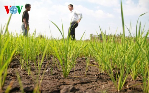 Chuyển đổi giống cây trồng thích nghi với hạn hán (Nông nghiệp và nông thôn ngày 15/6/2015)