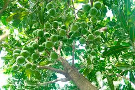 Chuyên gia Australia chia sẻ kinh nghiệm về trồng cây mắc ca. (Bạn bè với Việt Nam ngày 22/6/2015)