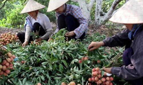 Thời sự đêm ngày 04/6/2015: 1.000 tấn vải của 3 tỉnh Hải Dương, Quảng Ninh và Bắc Giang sẽ được xuất khẩu sang 6 nước trên thế giới ngay trong mùa vải năm nay.