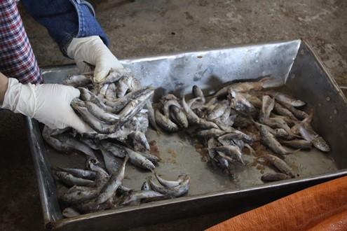 Quảng Trị có vội vàng khi công bố thông tin và thu hồi gần 30 tấn cá nục nhiễm chất phenol? (Thời sự sáng 14/6/2016)