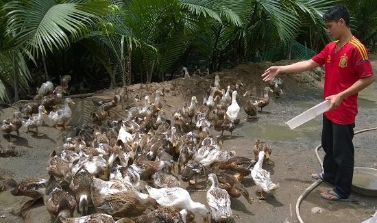 Đồng bằng sông Cửu Long phát triển nuôi vịt biển để thích ứng với biến đổi khí hậu. (16/6/2016)