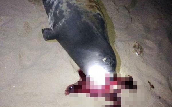 Nhiều ý kiến bày tỏ sự phẫn nộ và đề nghị trừng trị người đánh chết một chú hải cẩu lên bờ vui đùa với người dân tại bãi biển Bình Thuận (5/1/2017)
