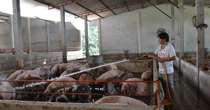 Giá lợn hơi giảm mạnh- người chăn nuôi điêu đứng (14/01/2017)