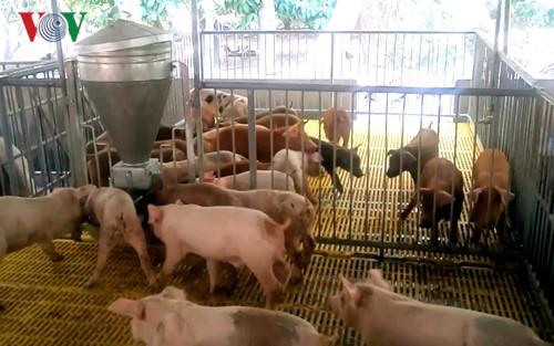 Giải pháp hạn chế thiệt hại cho người chăn nuôi khi giá lợn hơi xuống thấp (18/1/2017)
