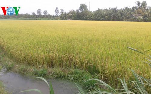 Ứng dụng Khoa học công nghệ để tạo ra những giống lúa chịu mặn thích ứng với biến đổi khí hậu (27/10/2017)