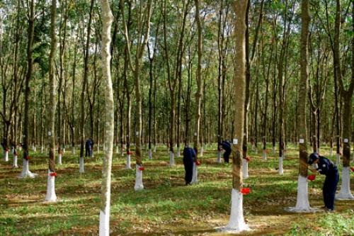 Dự án trồng cao su mang đến hy vọng cho người dân Sơn La  (30/12/2017)
