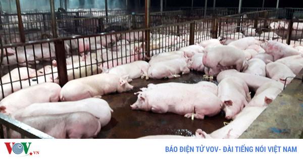 Thành phố Hồ Chí Minh kỷ luật hàng loạt cán bộ liên quan đến vụ lợn bị tiêm thuốc an thần tại huyện Củ Chi (Thời sự đêm 7/12/2017)