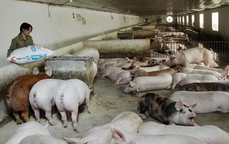 Chăn nuôi lợn thua lỗ, người chăn nuôi không mặn mà tái đàn dịp cuối năm (01/12/2017)
