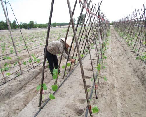Cách người Hà Tĩnh trồng rau trên cát trắng (18/3/2017)