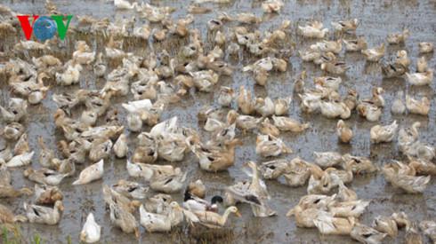 Người dân vứt xác gia cầm chết ra môi trường: Giải pháp nào để xử lý và nâng cao ý thức của người chăn nuôi (5/3/2017)