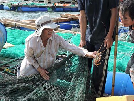 Nhiều hộ nuôi tôm hùm ở Lý Sơn, Quảng Ngãi đã phá dỡ lồng bè hoặc bán rẻ để trả nợ ngân hàng (Thời sự sáng 17/4/2017)