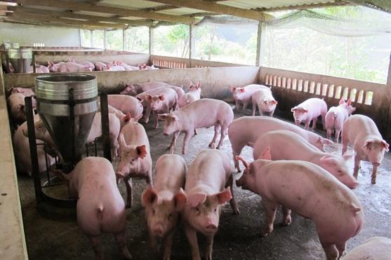 Giá thịt lợn xuống thấp kỷ lục trong vòng 30 năm qua (14/04/2017)
