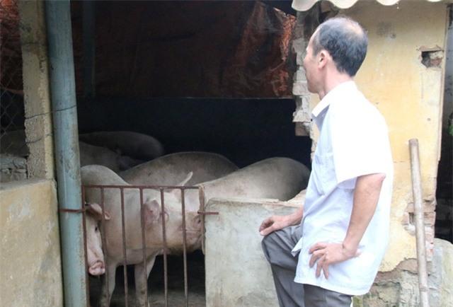 Giá lợn tiếp tục lao dốc- người chăn nuôi điêu đứng (01/5/2017)