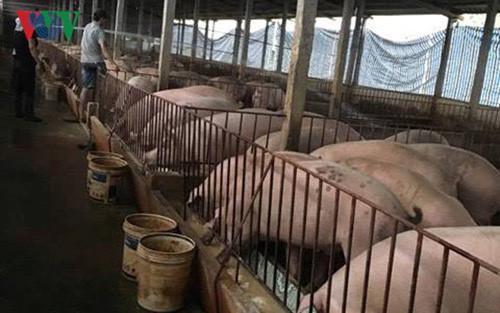 Khủng hoảng giá thịt lợn: Ai đang hưởng lợi (5/5/2017)