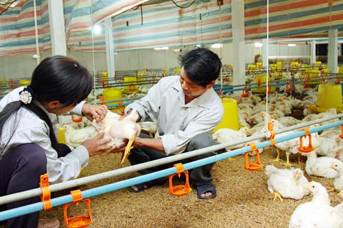 Tăng cường quản lý kiểm soát sử dụng kháng sinh trong chăn nuôi (20/5/2017)