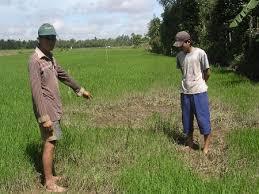Bạc Liêu: Nông dân lao đao vì lúa chết (27/6/2017)