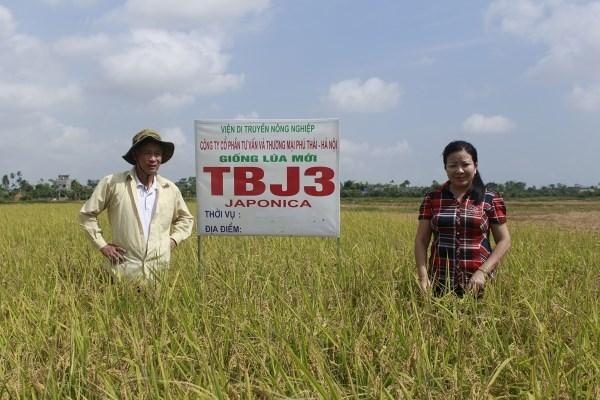 Kỹ thuật trồng và chăm sóc lúa Japonica chất lượng cao  (10/01/2018)
