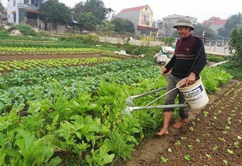 Việt Yên, Bắc Giang: Rau vụ đông được mùa, được giá  (24/01/2018)