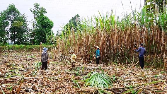 Lời giải cho ngành mía đường: Nhìn từ vùng nguyên liệu (8/10/2018)