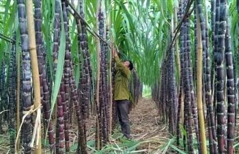 Giải pháp để phát triển cây mía bền vững tại khu vực miền núi phía Bắc (11/10/2018)