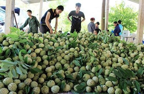 Kết nối hợp tác, mở rộng thị trường tiêu thụ cho nông sản Lạng Sơn (9/11/2018)