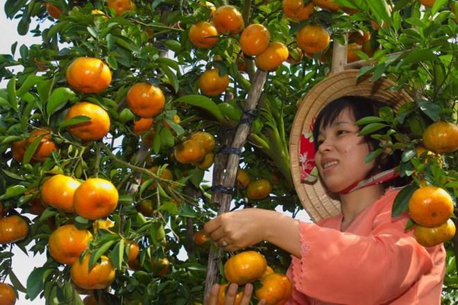 Giải pháp nào phát triển bền vững quýt, trái cây đặc sản mũi nhọn của tỉnh Bắc Kạn? (21/12/2018)