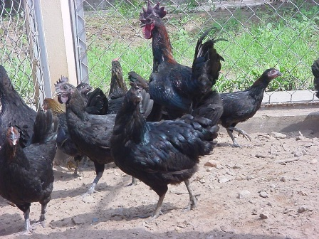 Dự án chăn nuôi và phát triển giống gà H'mông (30/12/2018)
