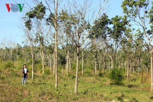 Đại dự án chuyển đổi năm 50 nghìn ha rừng nghèo sang trồng cao su tại Gia Lai thất bại, nhiều doanh nghiệp xé rào chuyển đổi đất rừng (Thời sự chiều 20/12/2018)