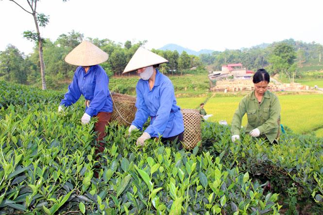 Thái Nguyên: Thay đổi tư duy của người trồng chè về sản xuất an toàn (13/03/2018)