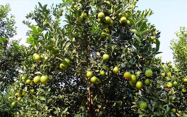 Nhìn lại vấn đề bảo vệ thương hiệu trái cây (5/5/2018)