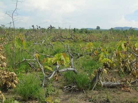 Tại tỉnh Đắk Lắk vừa phát hiện vụ phá gần 20 ha rừng để làm vườn trồng cây (Thời sự đêm 17/5/2018)