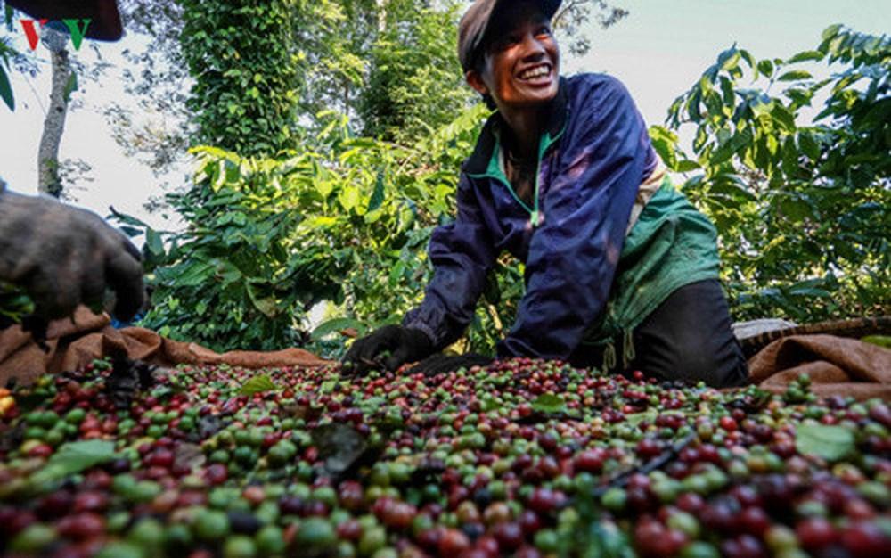 Tây Nguyên: Tái cơ cấu ngành cà phê để phát triển bền vững (24/6/2018)