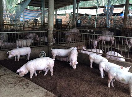 Nuôi lợn hiệu quả bằng đệm lót sinh học (6/6/2018)