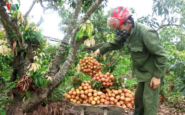 Tiêu thụ nông sản nhìn từ vụ vải thiều 2018 tại Bắc Giang (7/7/2018)