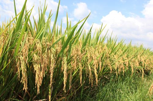 Người có những đóng góp tạo ra các giống lúa chất lượng cao (10/7/2018)