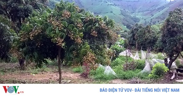 Mô hình ghép cải tạo vườn nhãn đem lại hiệu quả kinh tế cao tại tỉnh Điện Biên (31/7/2018)