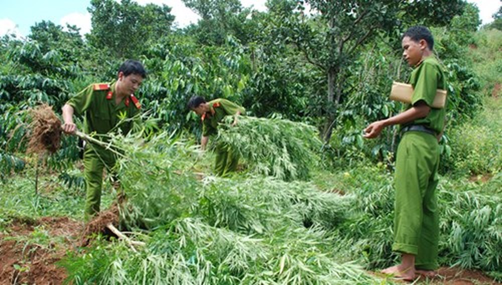 Đắk Lắk cảnh giác với chiêu thuê đất để trồng cần sa (31/8/2018)