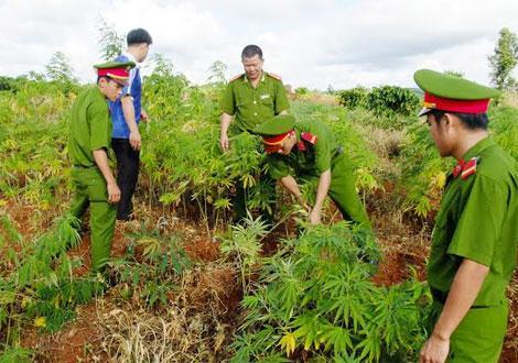 Đắk Lắk cảnh giác với chiêu thuê đất để trồng cần sa (27/8/2018)