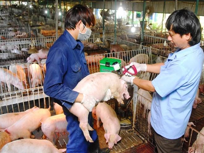 Khẩn trương đối phó với dịch lở mồm long móng trên lợn (23/1/2019)