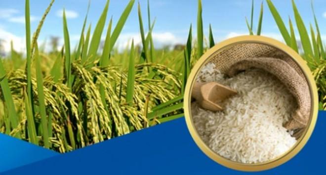 Lúa gạo chất lượng cao – hướng đi tất yếu trong hội nhập (21/1/2019)