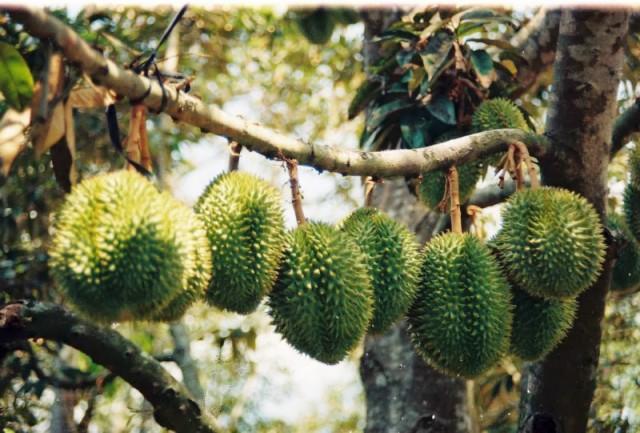 Phát triển cây ăn trái để không phải giải cứu (10/1/2019)